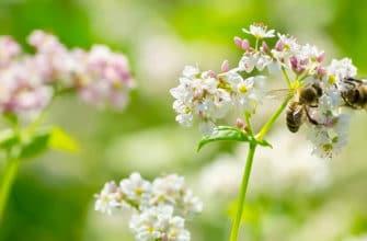 Пчёлы и гречиха