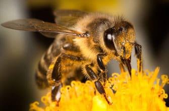 Укусы пчел