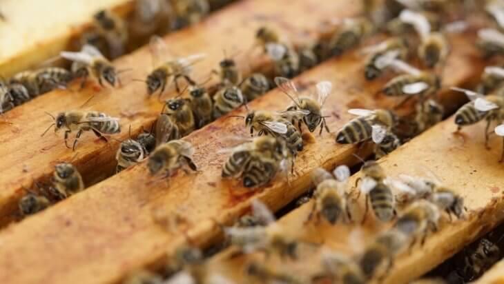 пчелы на рамках