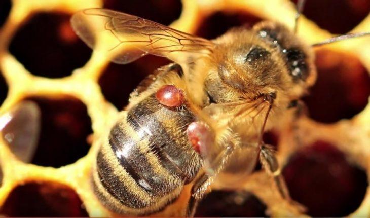 варроатоз у пчелы