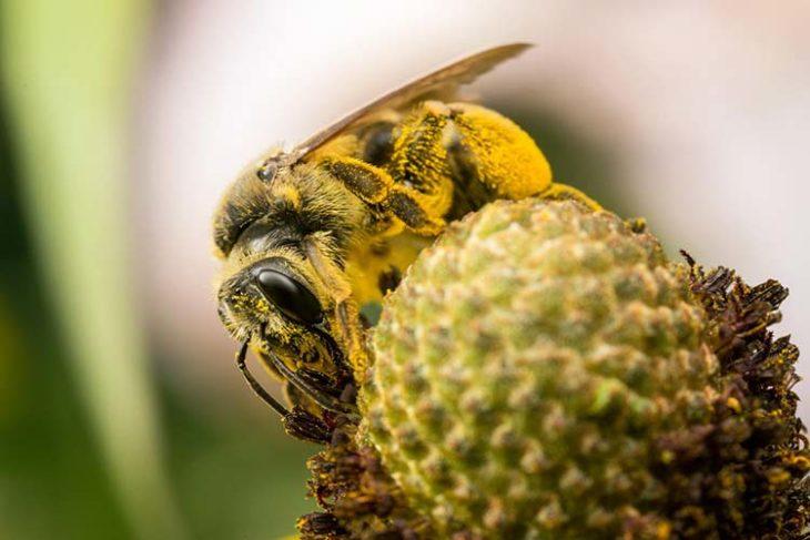 пчела и сбор пыльцы