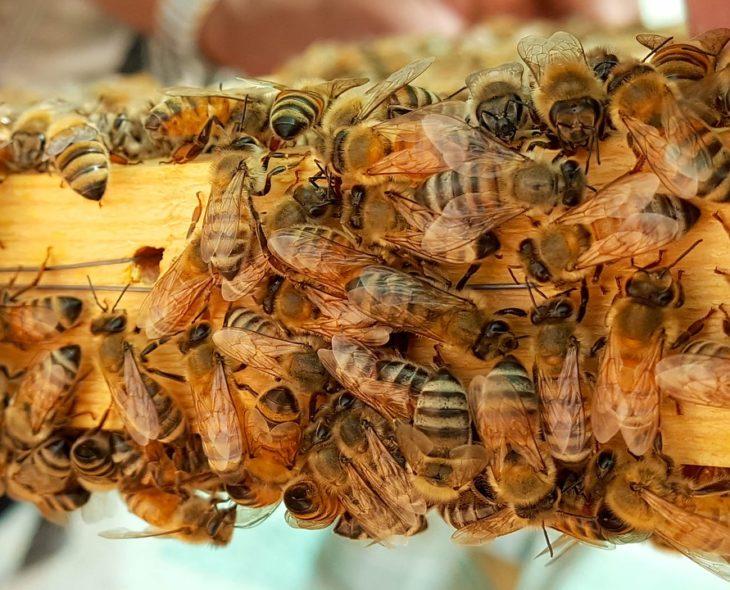 медоносные насекомые