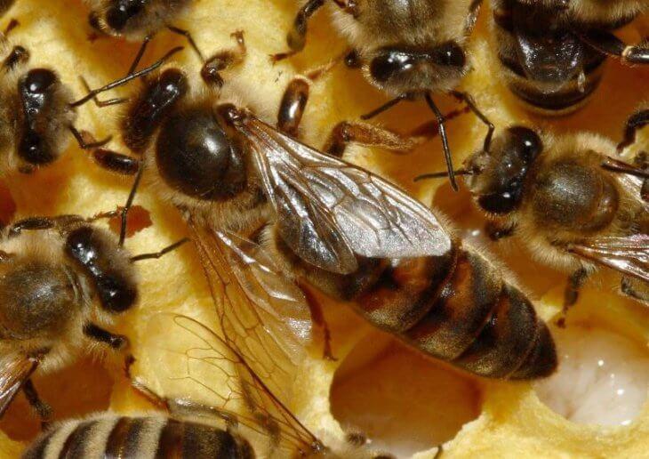 матка пчелиная