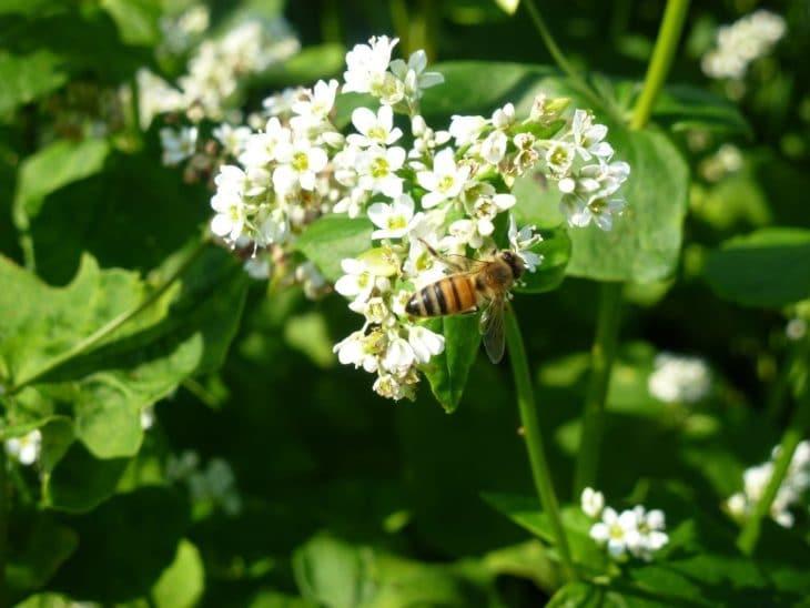 посевная гречиха и пчелы