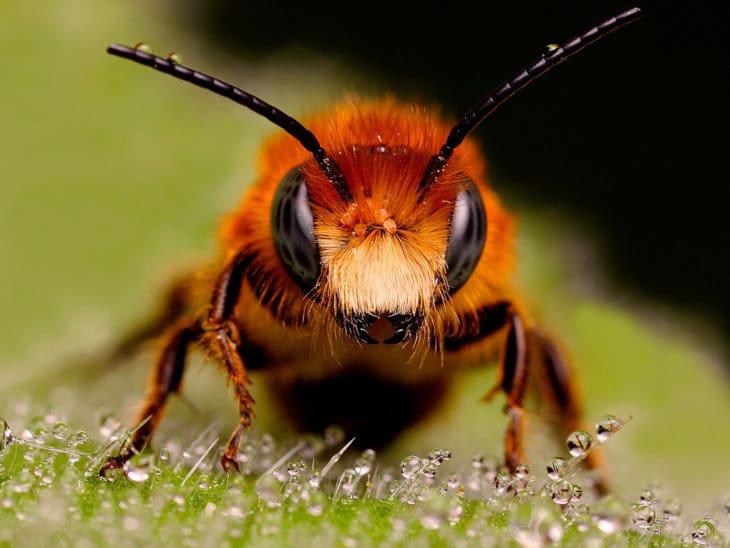 пчела вблизи