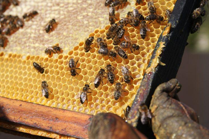 соты с пчелами