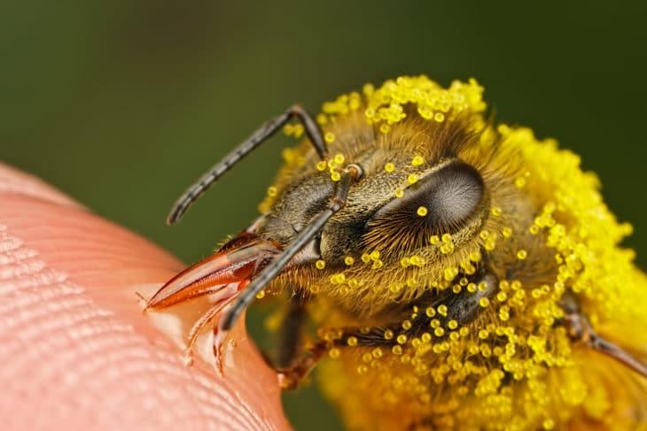 пыльца на теле медоносной пчелы
