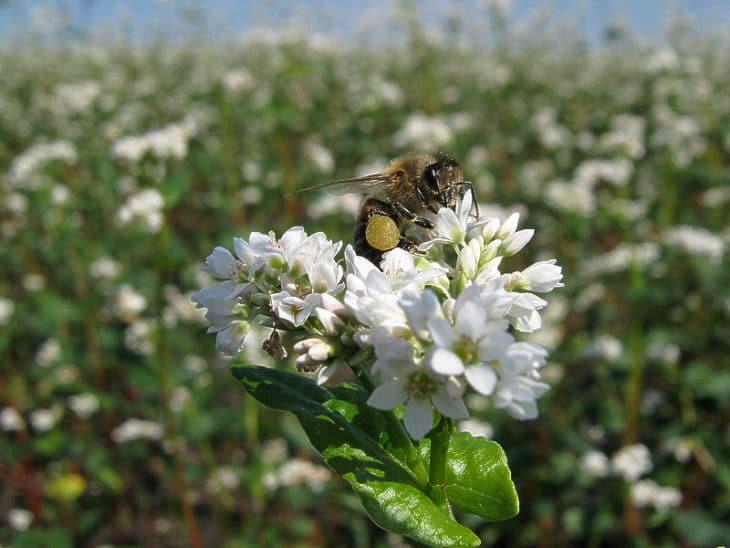 гречиха с пчелой