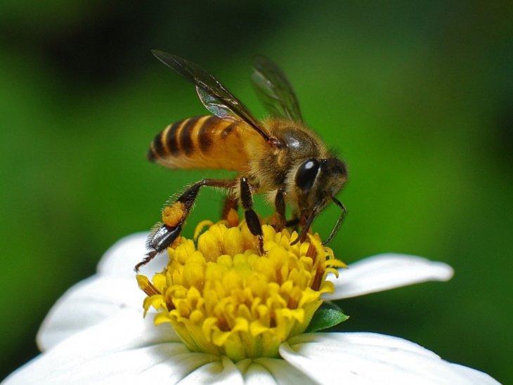 пчелка на ромашке