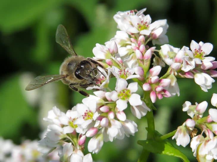 гречиха и пчела