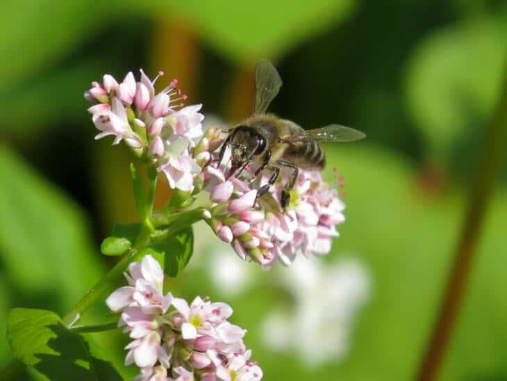 пчела на цветах гречихи