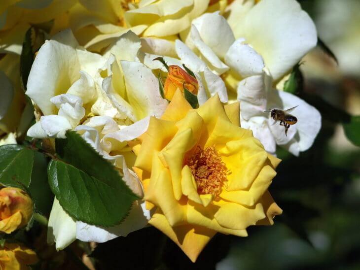 розы и пчела