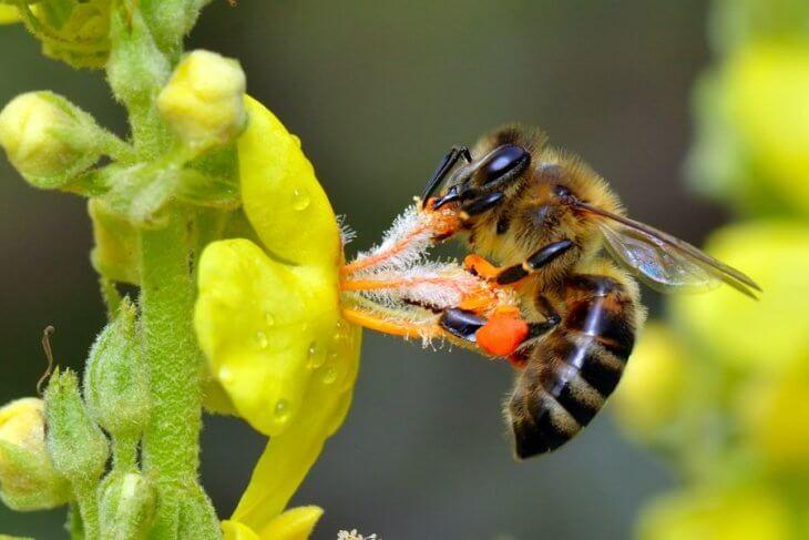 нектар и пчела
