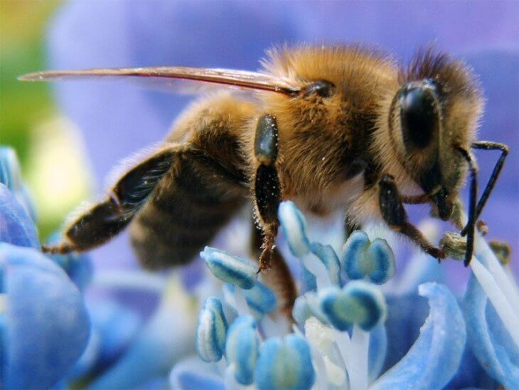 апизан в пчеловодстве
