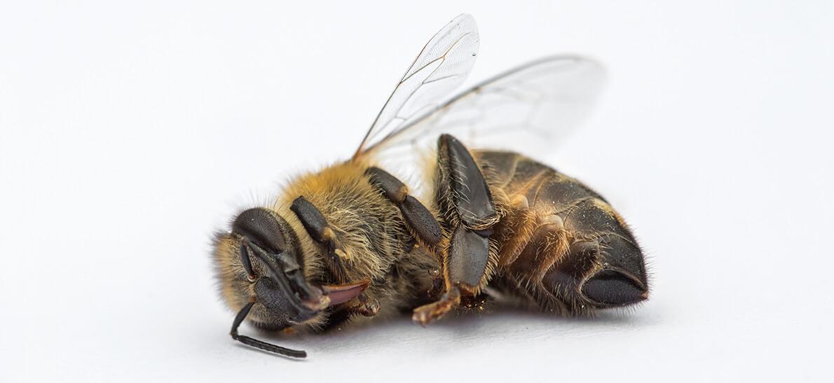 Почему пчела умирает после укуса и каковы его последствия для человека