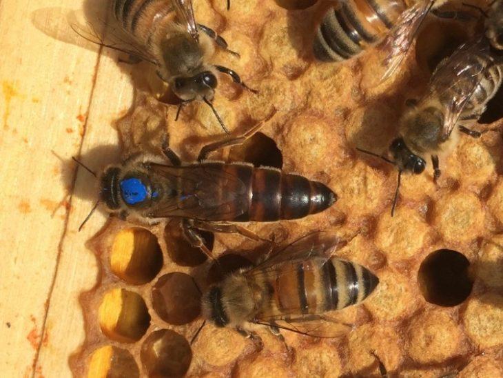 пчелы с маткой