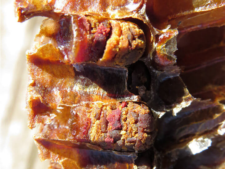 пчелиная перга в разрезе