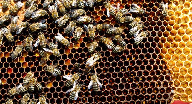 соты с медоносными насекомыми