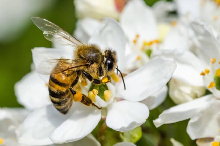 сбор пчелой нектара