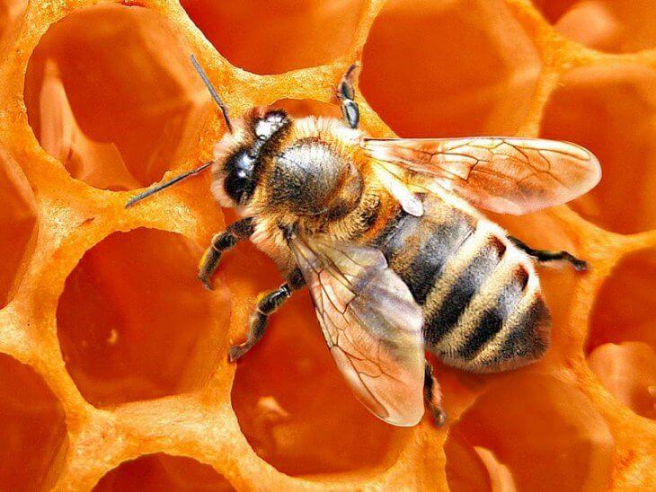 соты с пчелой