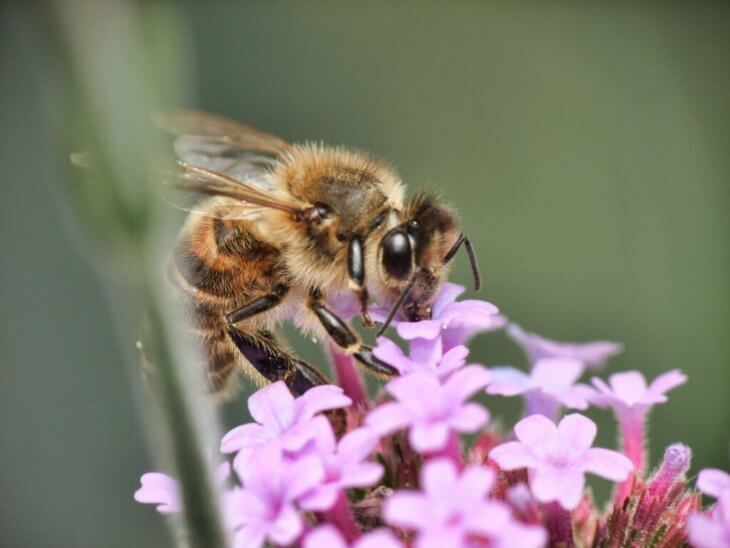 розовые цветы и пчела