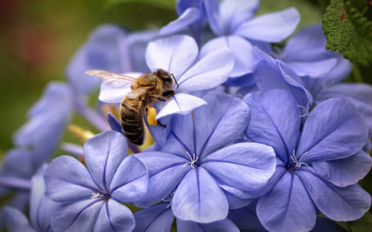 сбор нектара с цветка пчелой