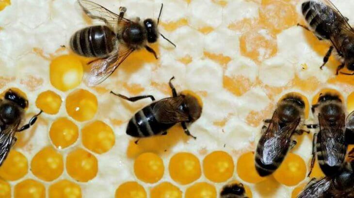 сотовый мед с пчелами