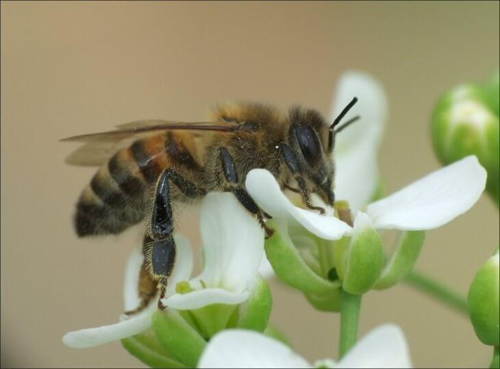 цветок и медоносная пчела