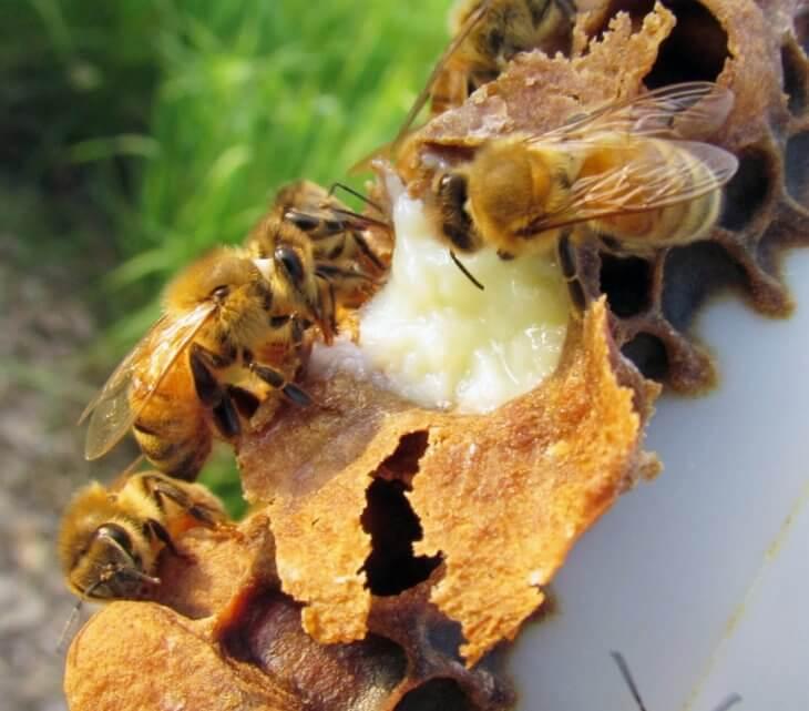 прополис с пчелами