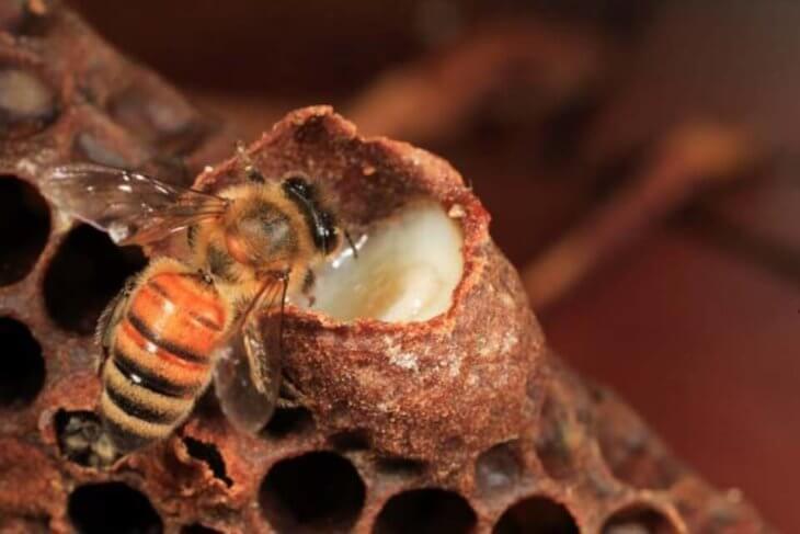 маточное молочко и пчела