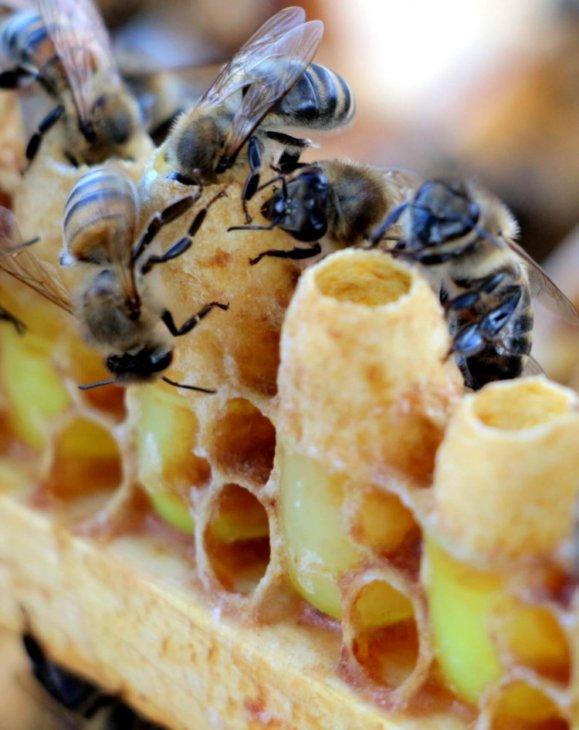 пчелы с маточниками