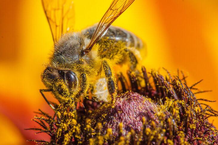 пчелиный сбор нектара