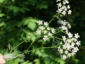 опыляемые растения