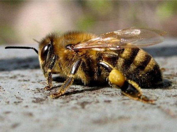 породы пчел